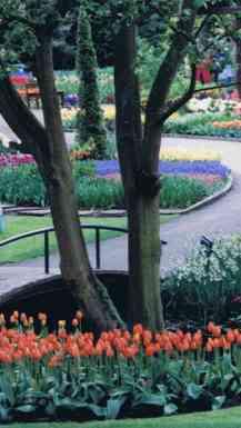 Dutch Beauty in Spring Flowers