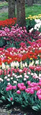 The Tulips of Keukenhof
