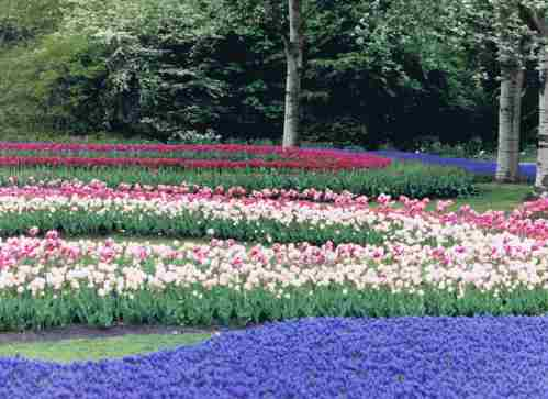 Swirling Dutch Tulips