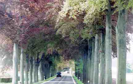 Tunnel Of Trees In The Ardennes